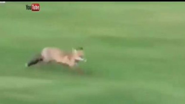 Video: Increíble: el zorro que juega a golf
