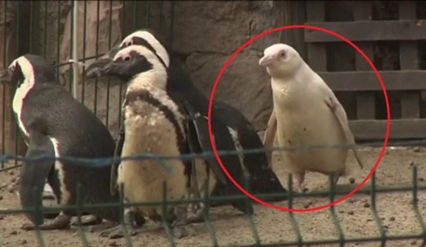 """[TLMD - NATL] El futuro del """"único"""" pingüino albino marcado por su color"""