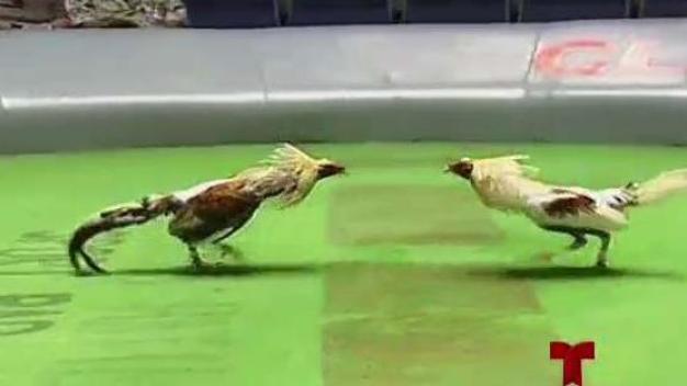 Presidente de la Cámara pide no prohibir peleas de gallo