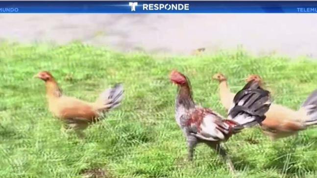 Decenas de gallinas sueltas en Hialeah