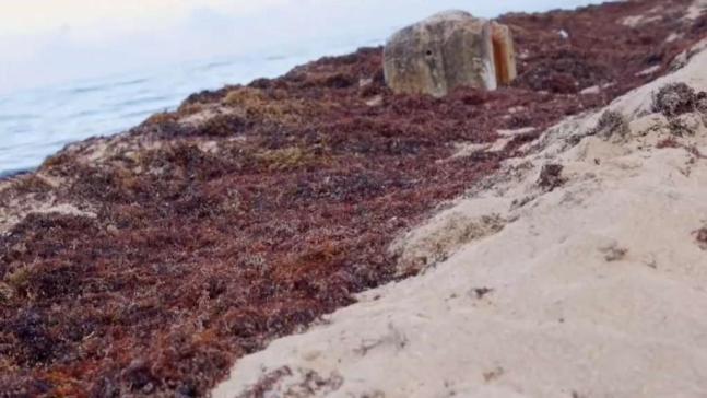 Hoy comienza la limpieza de algas en playas de Miami-Dade