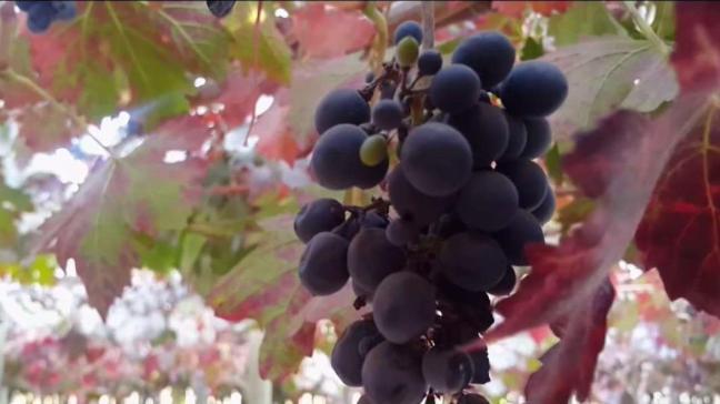 El cambio climático afecta hasta a la industria del vino