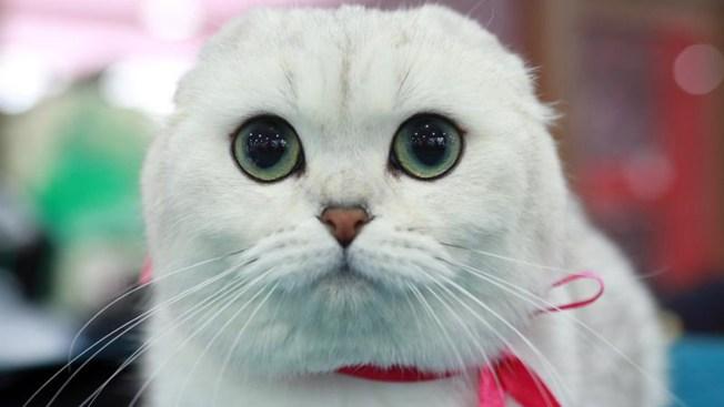 Fósiles de gatos aclaran el camino de su domesticación
