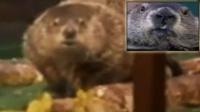 Marmotas Phil y Chuck contradicen pronósticos