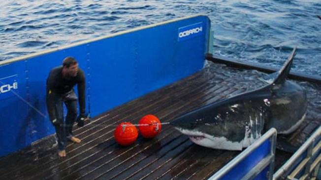 Tiburón blanco se pasea por la costa de NJ