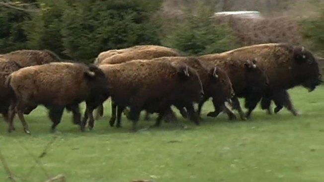 Matan a tiros a 15 búfalos fugitivos