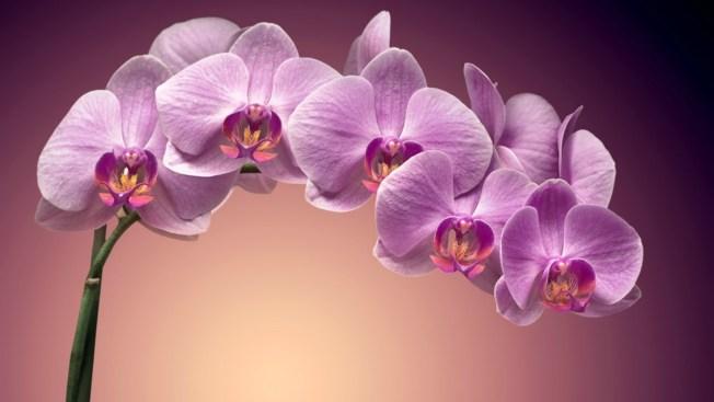 Flores De Buena Suerte En El Horóscopo Chino Telemundo 51
