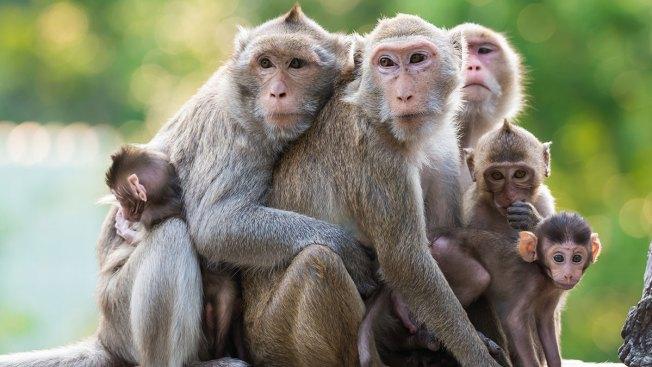 Vacuna contra el VIH funcionaría en monos