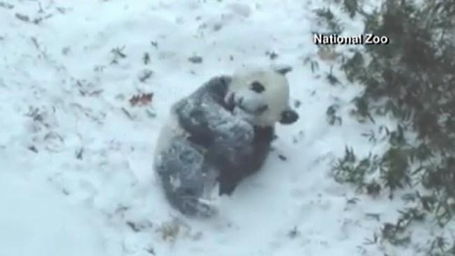 Osito panda disfruta de la nieve