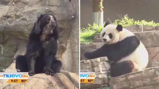Dos especies de osos comparten zoológico
