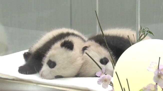 Pandas dormilonas se roban suspiros y bostezos