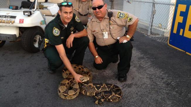 Hallan serpiente en Key West