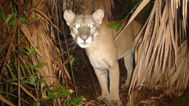 Pumas muertos generan alarma