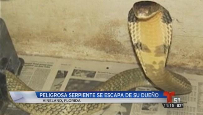 Una serpiente cobra pone en alerta a la Florida