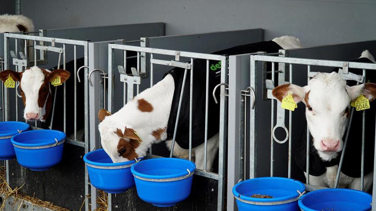 Resultado de imagen para Embarcan a 35 vacas en la primera granja flotante del mundo